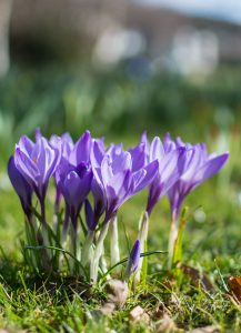 Crocusses 2
